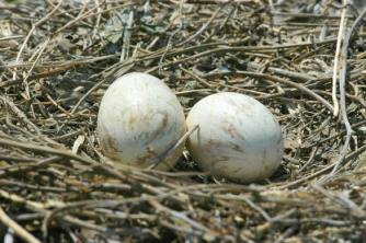 pelican eggs